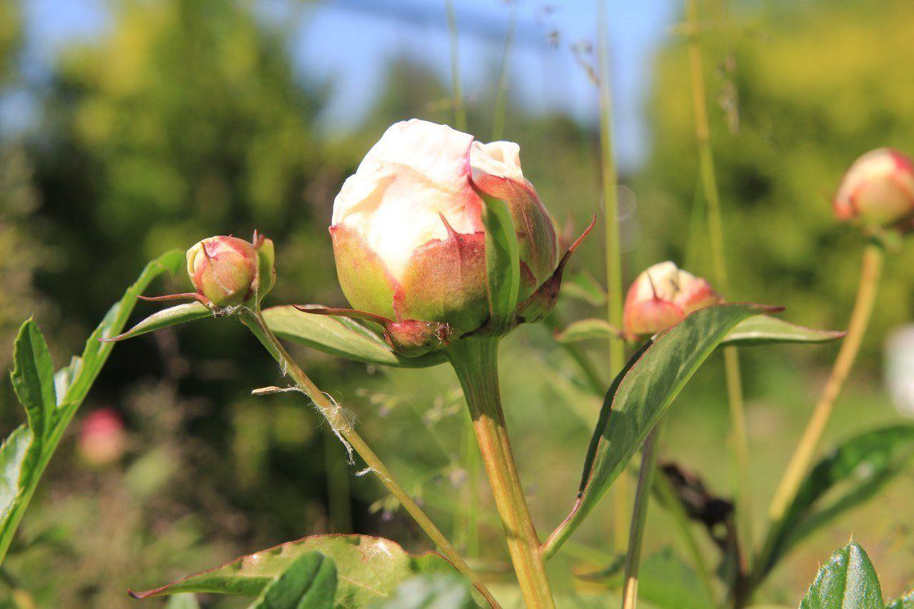 бутоны пионов весной и ранним летом