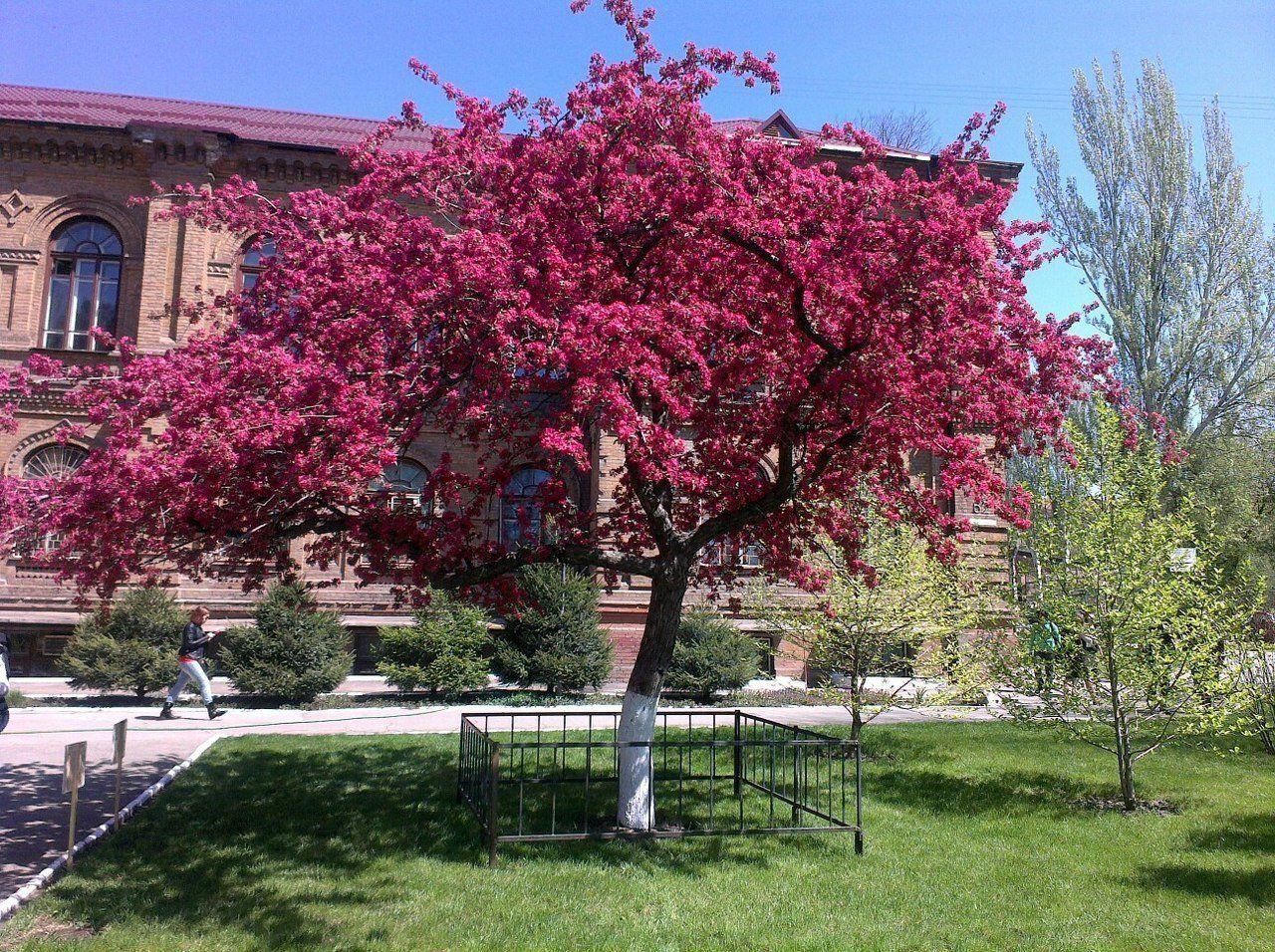 Украшение для сада декоративная яблоня Недзвецкого