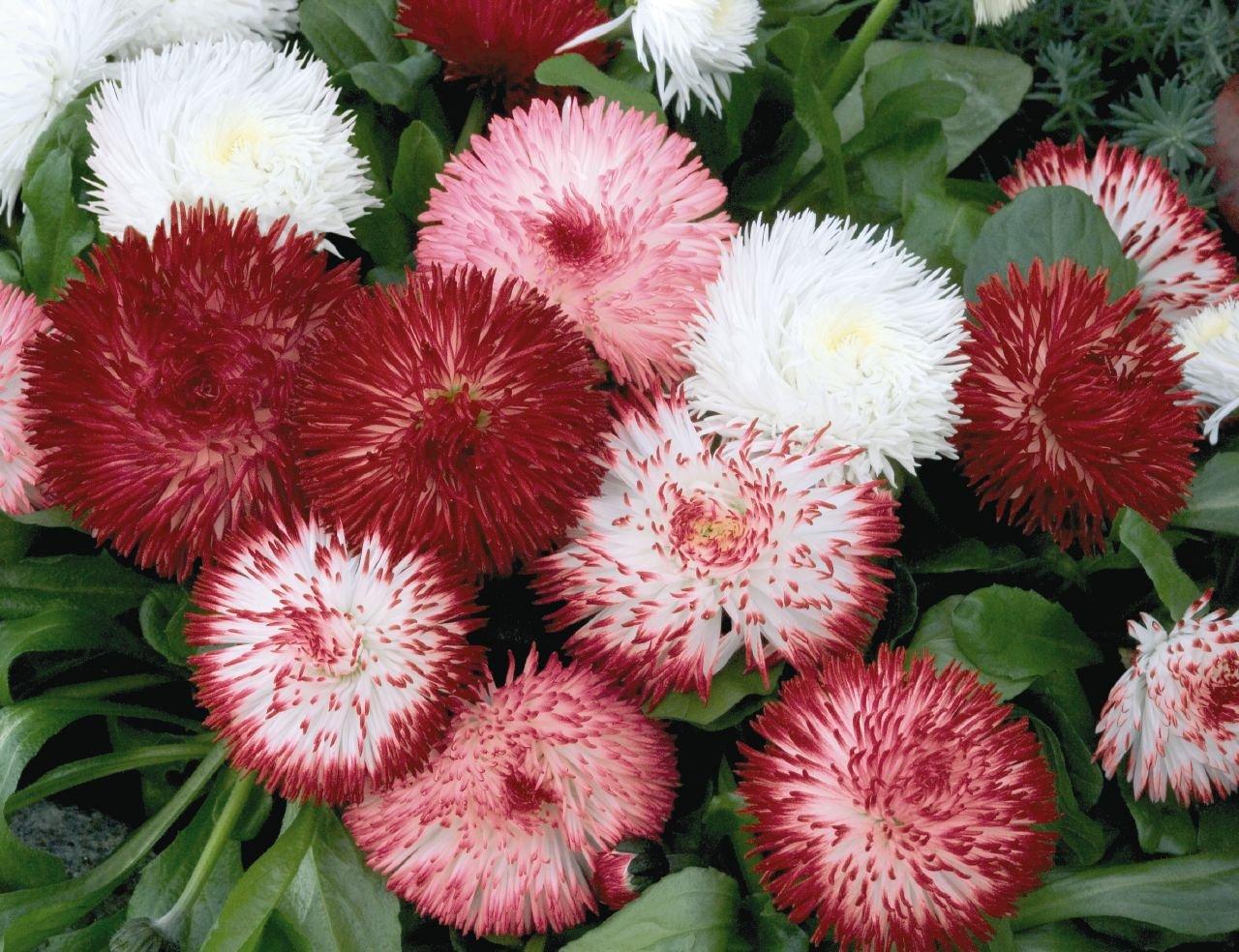 Купить цветы маргаритки минске, живая для букетов