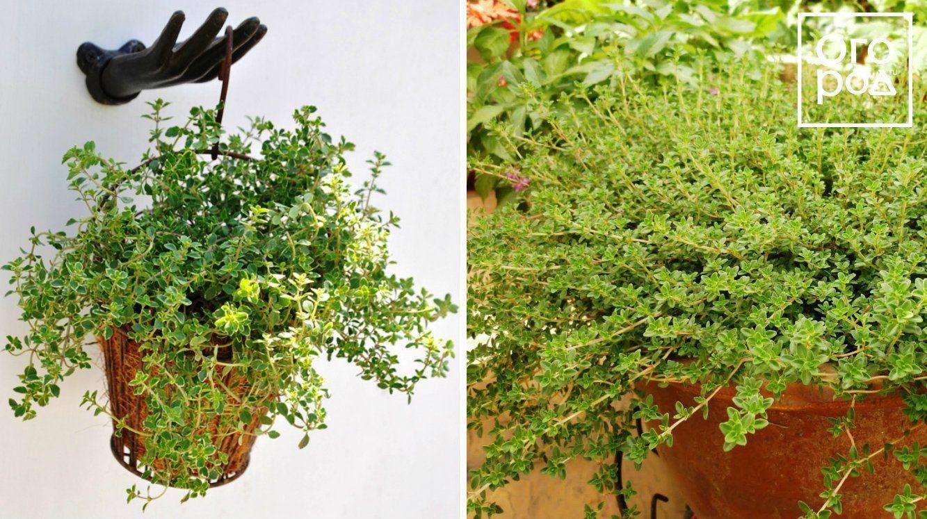 Выращивание редиса в открытом грунте: правила 61