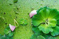 пистия, водный салат фото