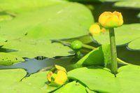 кубышка желтая фото