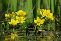 калужница болотная фото