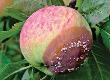 Монилиоз (монилиальный ожог, плодовая гниль) яблони