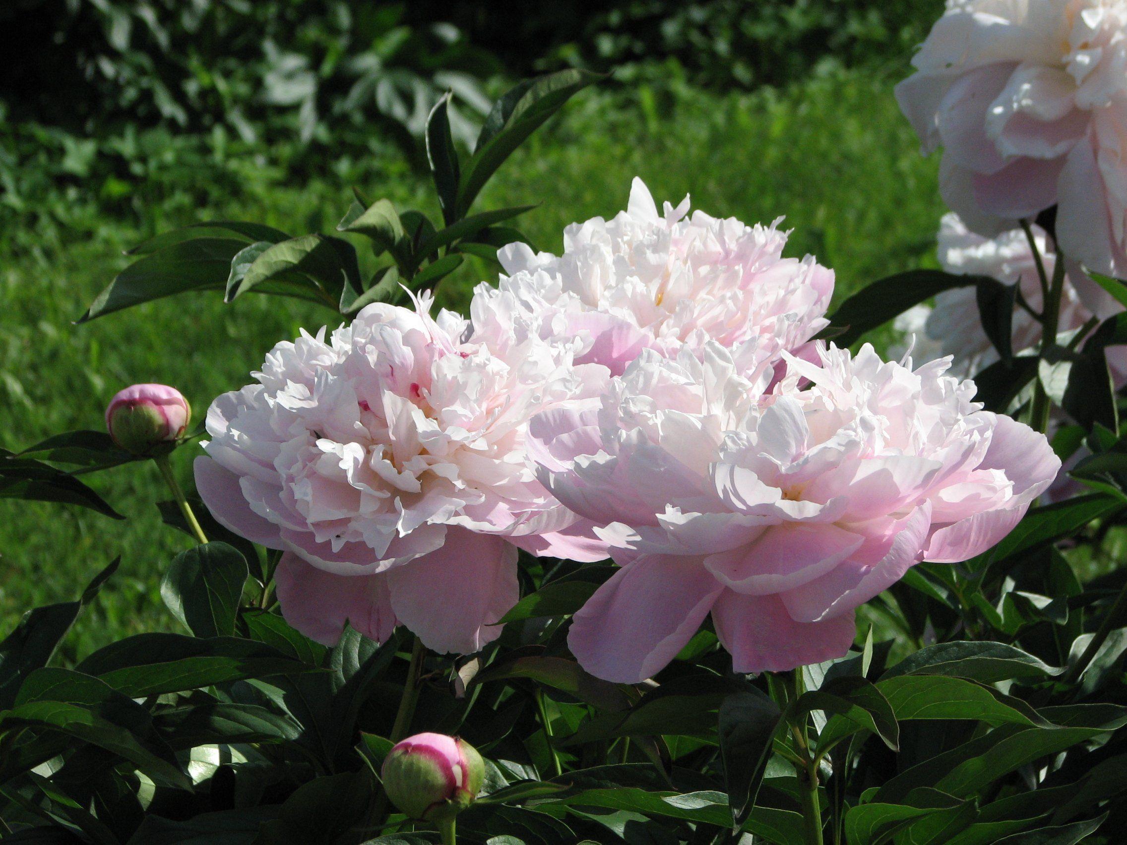 Пион молочноцветковый
