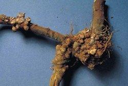 Бактериальный рак розы