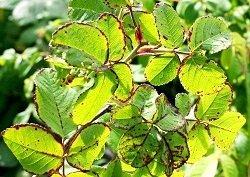 Вирус полосатости розы