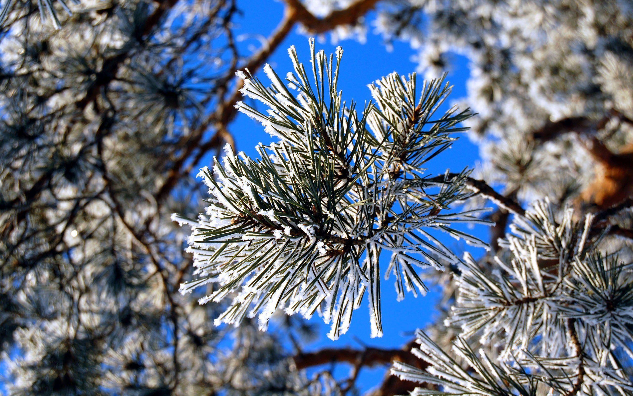 Хвойная ветка в снегу