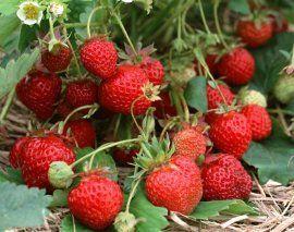 : Как увеличить урожай клубники