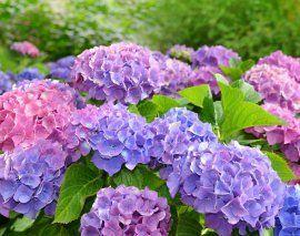 ru.123rf.com / Vaclav Volrab: разноцветная гортензия в саду