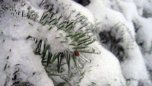 Хвойные деревья в снегу