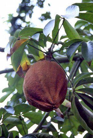 Пахира плодоносит