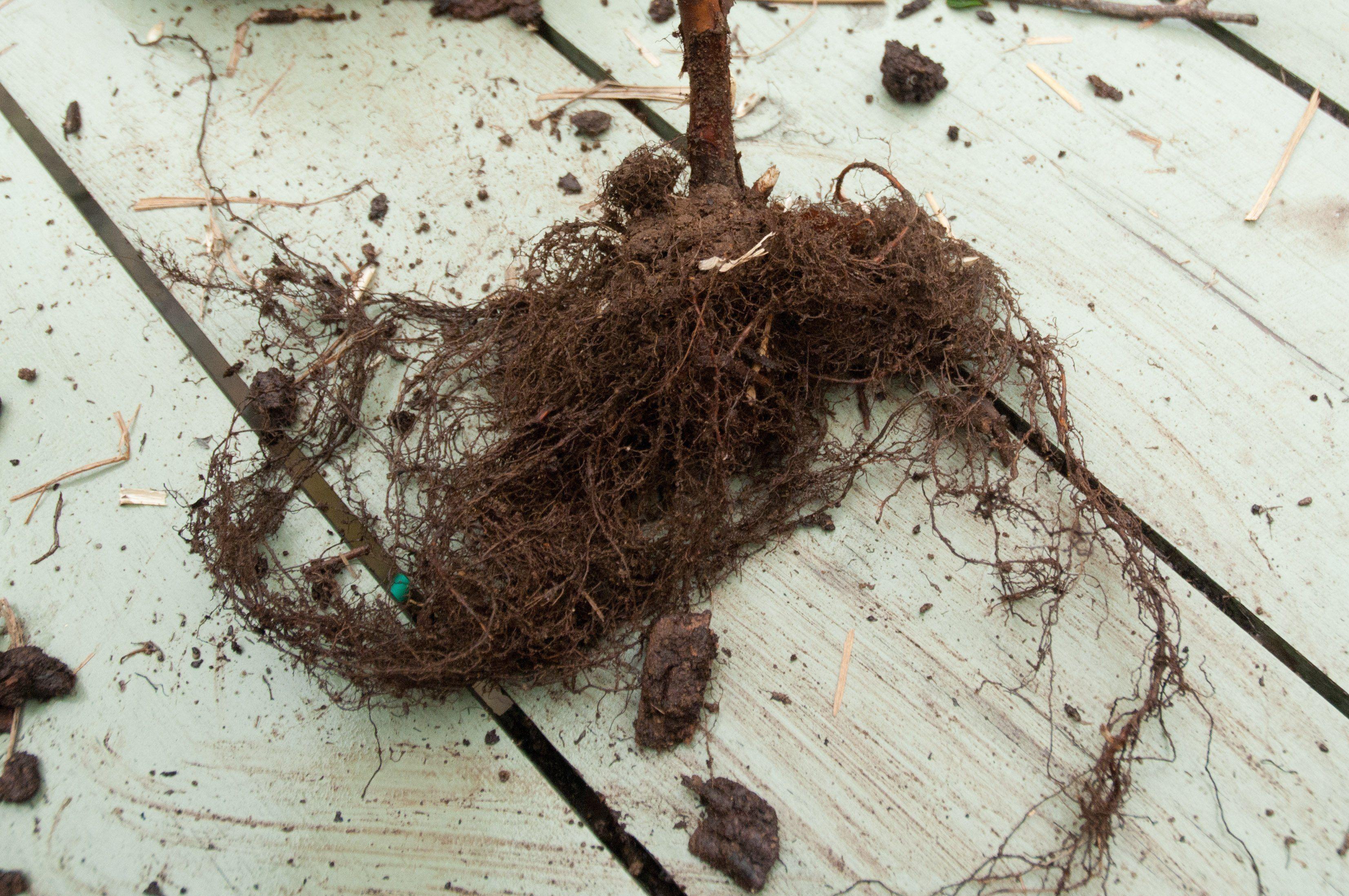 Как сажать малину осенью с корнями 636