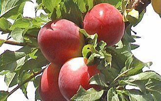 Алыча абрикосовая описание сорта