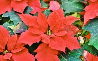 Park Si-Hyeon: closeup of Red colored poinsettia leaves