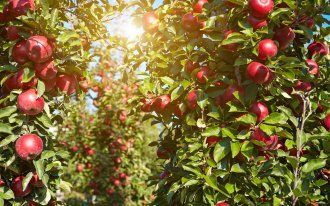: apples in the orchard