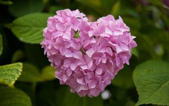 Как правильно посадить и вырастить гортензию в саду или на даче 1