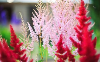 : colorful blooming astilbe in summer garden