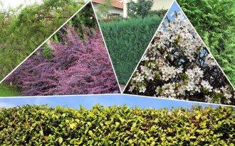 Самая быстрорастущая живая изгородь: выбираем растения