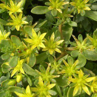 Очиток гибридный (Sedum hybridum)