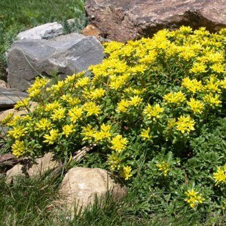 Очиток камчатский (Sedum kamtschaticum, Sedum floriferum)