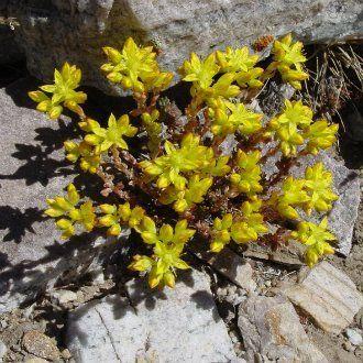 Очиток ланцетовидный (Sedum lanceolatum)