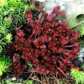 Очиток многощетинковый (Sedum polytrichoides)