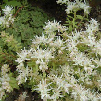 Очиток сизолистный Sedum glaucophyllum
