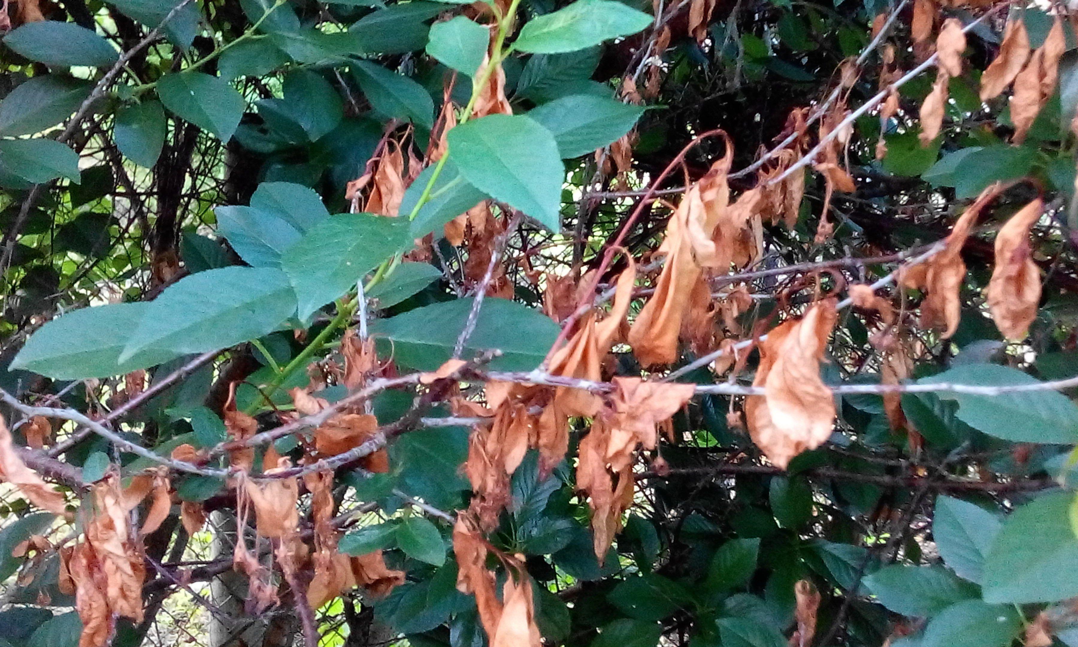 Симптомы монилиального ожога (монилиоза) на вишне