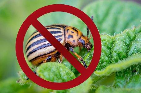 как уничтожить колорадского жука на картошке
