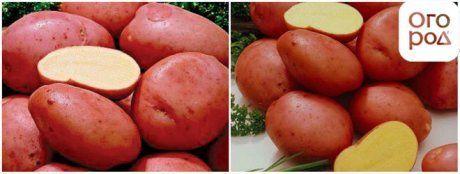 Картофель Алена