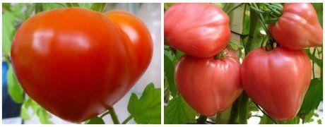 Среднеспелый сорт томата Буденовка