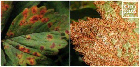 Ржавчина листьев клубники