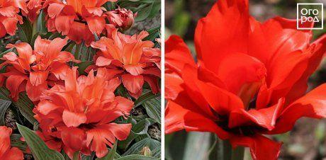 Тюльпаны Double Red Riding Hood