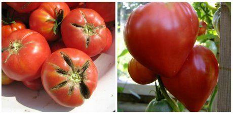 Раннеспелый сорт томатоы Вождь краснокожих (Сахарный бизон)
