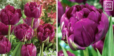 Тюльпаны Royal Acres