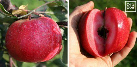 Яблоки Redlove Era