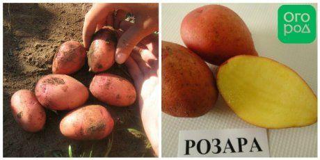 сорт картофеля Розара