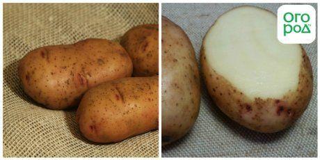 сорт картофеля Тирас