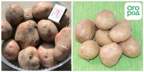 сорт картофеля Брянский надежный