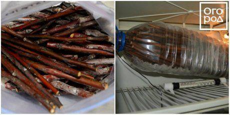 Хранение черенков в холодильнике