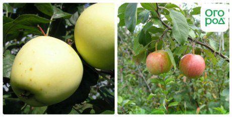сорт яблок аркад желтый