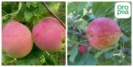 сорт яблок квинти