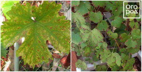 Ржавчина винограда