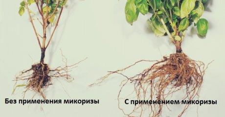 Растения с микоризой и без