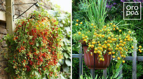 помидоры, томаты в кашпо