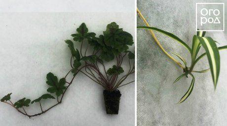 Растения, которые охотно себя клонируют сами. Слева – тиарелла с длинным побегом-усом, который уже дал корни. Справа – всем известный комнатный хлорофитум с новым молодым растением на длинном цветоносе