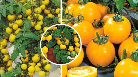 томат ацтек