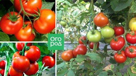 томат дачник