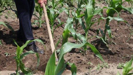 Рыхление кукурузы